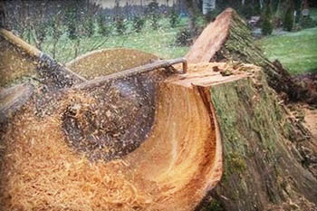 Grinding large tree stump on residential property in Fort Myers, FL.