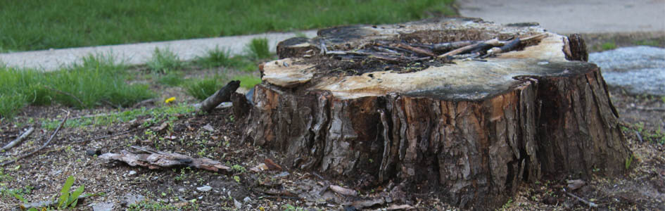 Tree stump that needs grinding and removal.