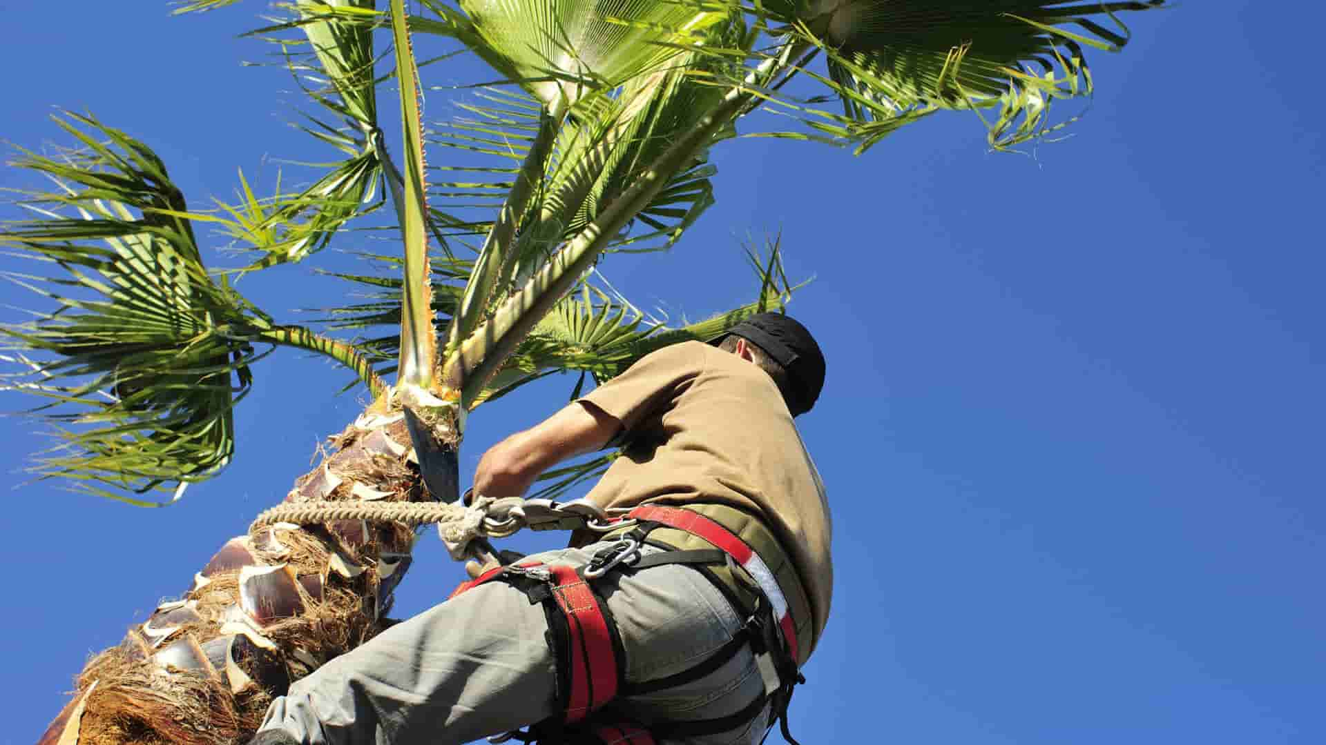 Large palm tree being trimmed in Cape Coral, FL