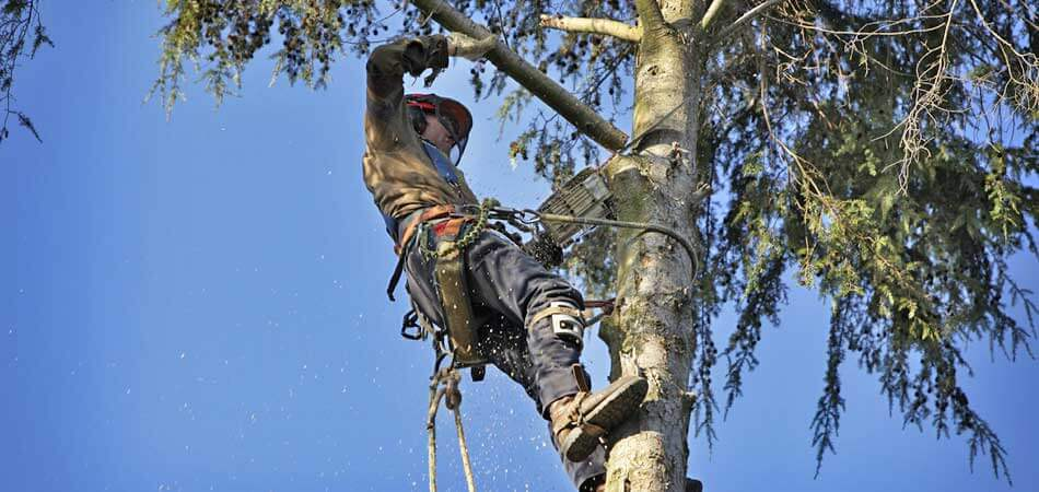 Arborist trimming a large tree in Fort Myers, FL.