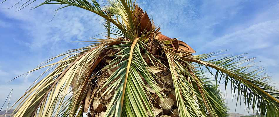 Diseased palm tree requiring trimming in Cape Coral, FL.