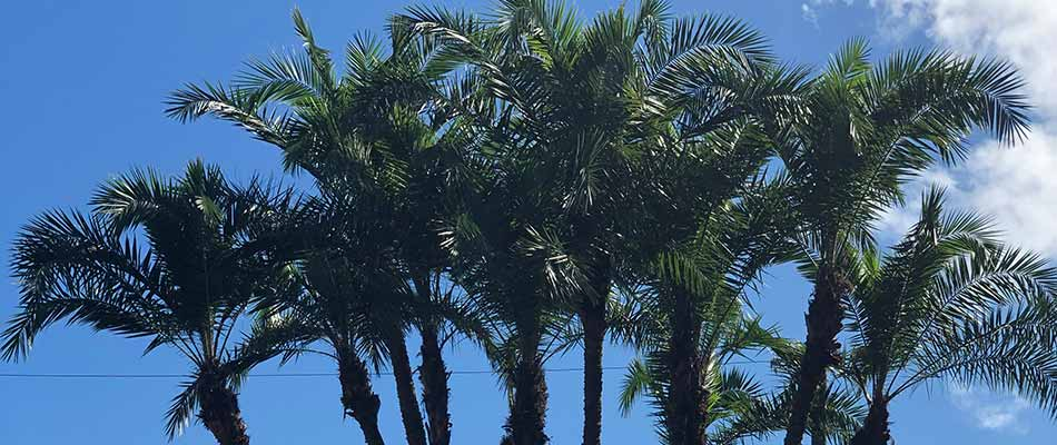 Palm trees that were recently trimmed and pruned in Fort Myers, FL.