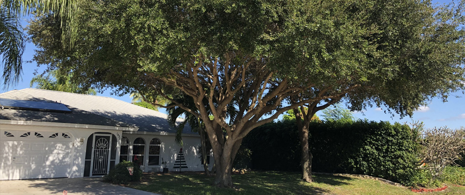 A large properly trimmed tree at a residential property in Cape Coral, FL.