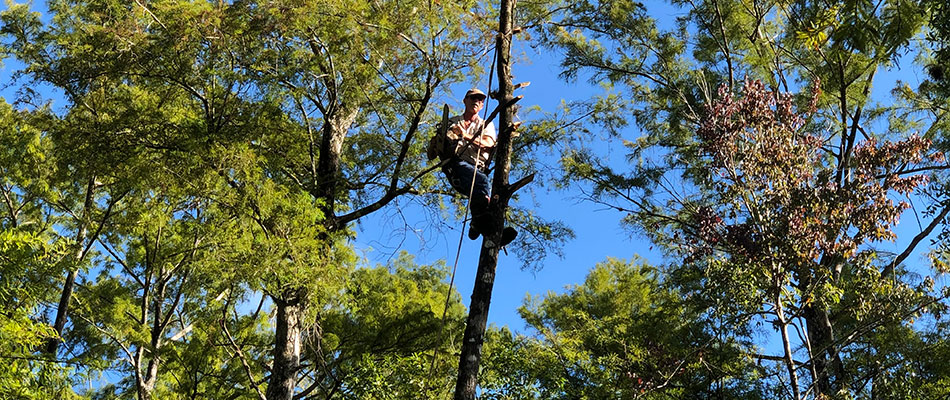 One of our tree trimming team members servicing a tree in Fort Myers, FL.