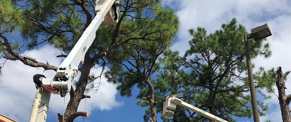 Trimming large trees at commercial property in Fort Myers, FL.