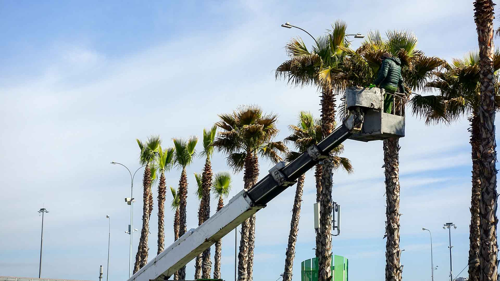 Our crew trims palm trees growing in Cape Coral, FL.