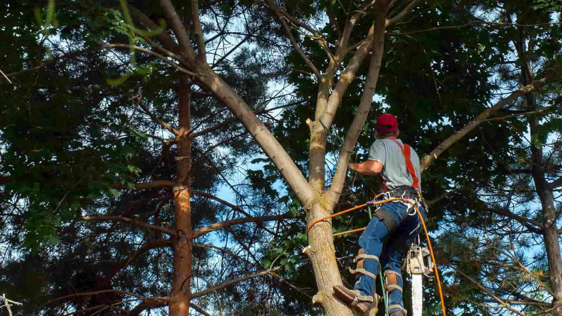 Our crew removes a tree in Cape Coral, FL for health reasons.